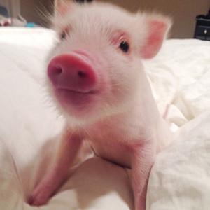 baconthepiglet